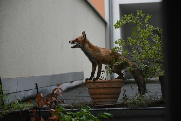 City fox 2