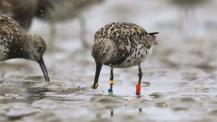 Great knot 2