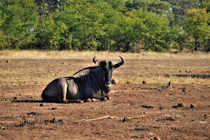 A Kruger wildebeest during drought