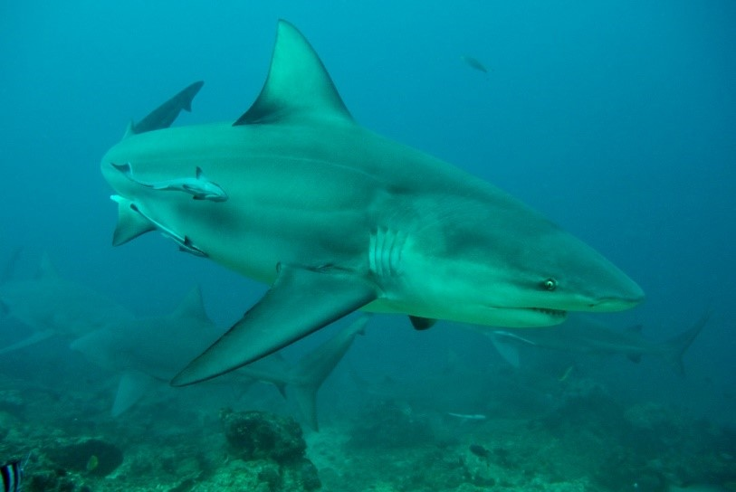 Essential waters: young bull sharks in Fiji's largest